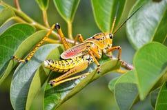 Eastern Lubber Grasshopper Stock Image