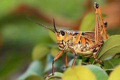 Eastern Lubber Grasshopper Royalty Free Stock Photos