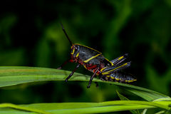 Eastern lubber grasshopper Royalty Free Stock Photography