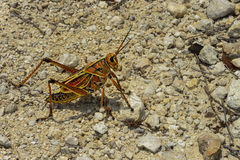 Eastern lubber grasshopper Stock Photography