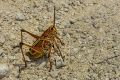 Eastern lubber grasshopper Stock Photos