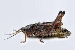 Eastern Lubber Grasshopper Royalty Free Stock Photo