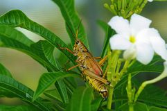 Eastern Lubber grasshopper Stock Photo