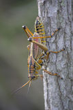 Eastern Lubber Grasshopper sits head down on a grey tree trunk Royalty Free Stock Photo