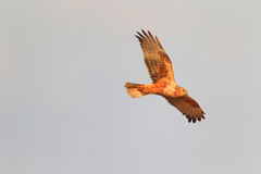Eastern marsh harrier Royalty Free Stock Image