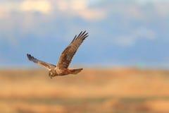 Eastern marsh harrier Royalty Free Stock Photography