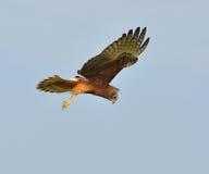 Eastern marsh harrier Stock Photography