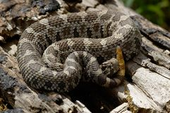 Eastern Massasauga Rattlesnake Stock Photo