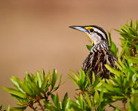 Eastern Meadowlark. Sitting in a bush Stock Photography