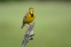 Eastern Meadowlark Royalty Free Stock Photos