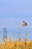 Eastern Meadowlark in flight to Sun Flower Stock Photography