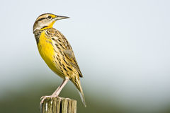 An Eastern Meadowlark perched. On a fence post looks over his shoulder Royalty Free Stock Photo