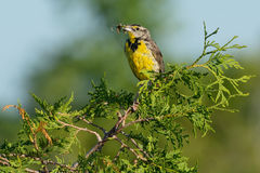 Eastern Meadowlark Royalty Free Stock Photo