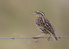 Eastern Meadowlark Perched on a Wire Fence - Florida Royalty Free Stock Photos