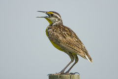 Eastern Meadowlark singing. An Eastern Meadowlark singing his heart out for a mate Royalty Free Stock Photo