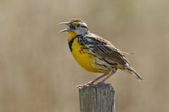 Eastern Meadowlark Singing on a Fence Post Stock Photos