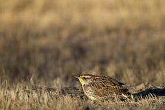 Eastern Meadowlark, Sturnella magna Stock Images