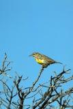 Eastern Meadowlark, Sturnella magna Stock Photography