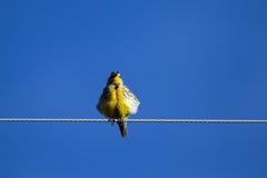 Eastern Meadowlark, Sturnella magna Royalty Free Stock Photography