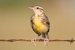 Eastern Meadowlark Sturnella magna Stock Photo