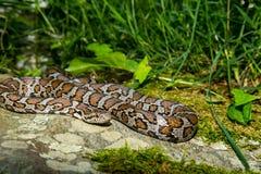 Eastern Milk Snake Stock Photos