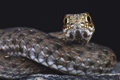 Eastern Montpellier snake (Malpolon insignatus) Royalty Free Stock Images