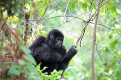 Eastern mountain gorilla baby Royalty Free Stock Image