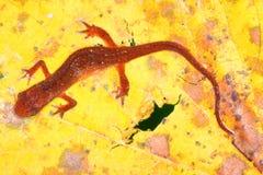 Eastern Newt Illinois Wildlife Royalty Free Stock Photos
