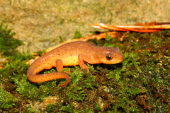Eastern Newt (Notophthalmus viridescens) Stock Photography
