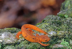 Eastern Newt Royalty Free Stock Images