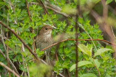 Thrush Nightingale Royalty Free Stock Images
