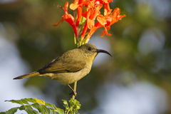 Eastern Olive Sunbird Royalty Free Stock Photo
