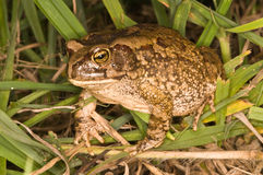 Eastern olive toad. Rough and dry skin; pupil horizontal; wartlike elevations on dorsum; ventral skin granular; top of snout free of dark markings Stock Photo