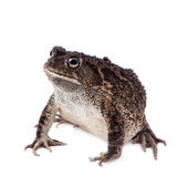 Eastern olive toad isolated on white. Eastern olive toad, Amietophrynus garmani, isolated on white background Stock Photography