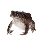 Eastern olive toad isolated on white. Eastern olive toad, Amietophrynus garmani, isolated on white background Royalty Free Stock Images