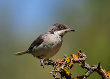Eastern Orphean Warbler. Lives in the gardens Royalty Free Stock Photo