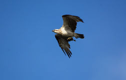 Eastern osprey female in flight with fish. A wild eastern osprey female in flight with a catch of fish off the east coast of Australia Royalty Free Stock Images
