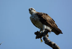 Eastern osprey female with her catch of fish Stock Photos