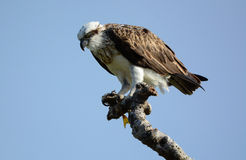 Eastern osprey female with her catch of fish Royalty Free Stock Photo