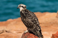 Eastern Osprey Stock Photography