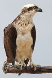 Eastern osprey (Pandion cristatus) - an Australian bird of prey Royalty Free Stock Photography