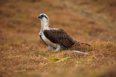 Eastern Osprey, Pandion cristatus, with fish Stock Images