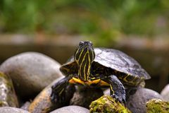 Eastern painted turtle Royalty Free Stock Images