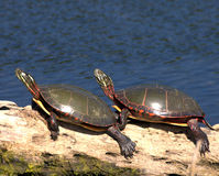 Eastern Painted Turtle (Chryse. Two painted turtles perched on a log Stock Photo
