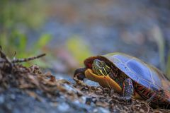 Eastern Painted Turtle Chrysemys picta stock images