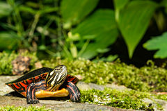 Eastern Painted Turtle. A close up of a young Eastern Painted Turtle Stock Photo