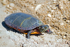 Eastern Painted Turtle. Crossing a dirt road Royalty Free Stock Photo