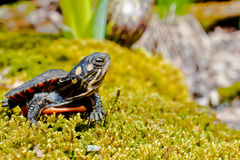 Eastern Painted Turtle Stock Image