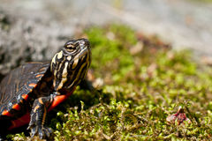 Eastern Painted Turtle. A curious little Painted Turtle crawling over a rock covered with moss Stock Photography