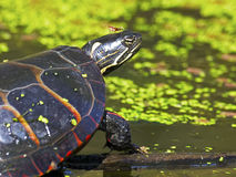 Eastern Painted Turtle. On Log Stock Photos